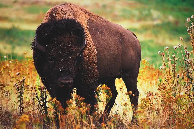 Was fressen Büffel