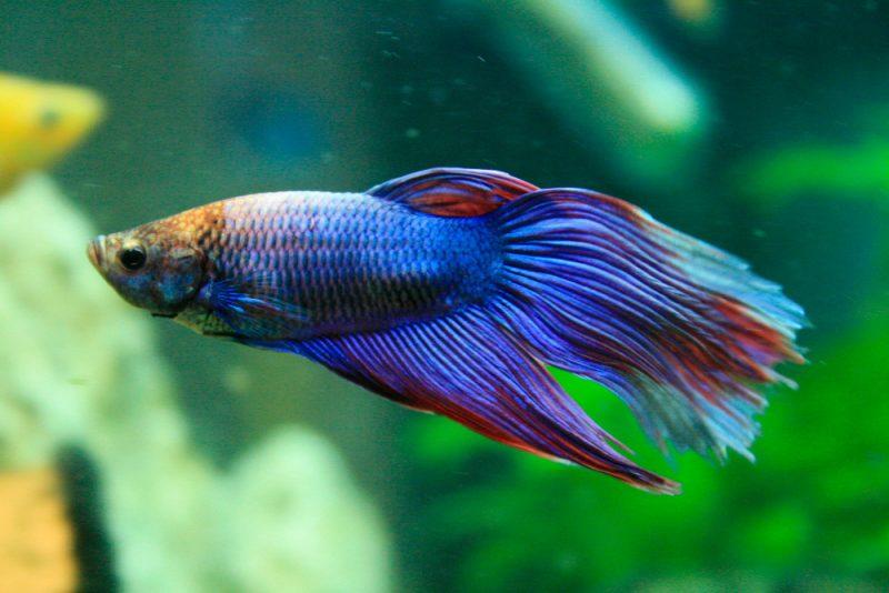 Was fressen Betta Fische?