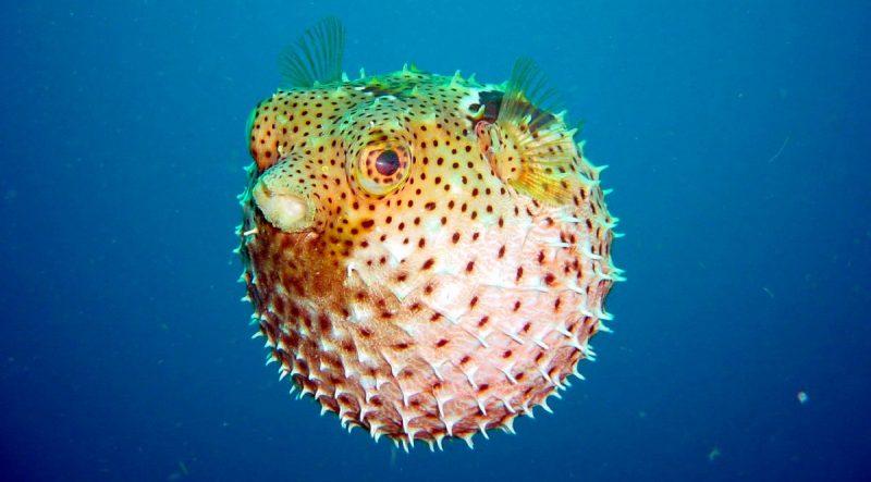 Was fressen Blowfische?