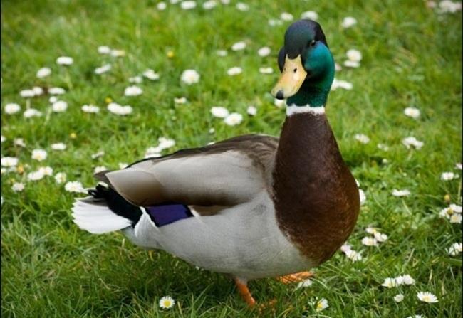 Was fressen die Enten?