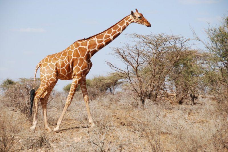 Was fressen Giraffen?