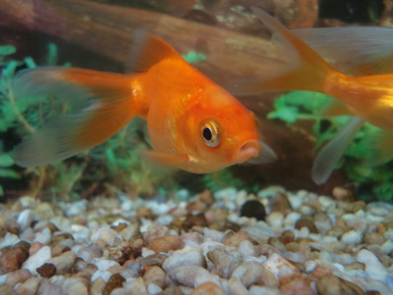 Was fressen Goldfische?