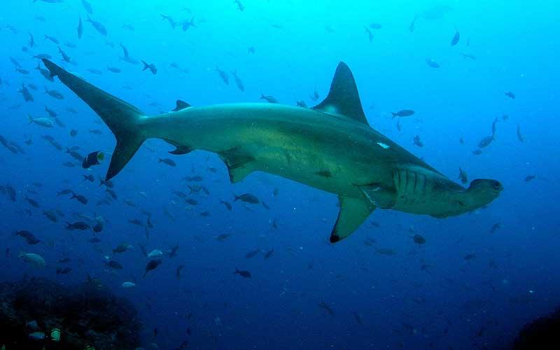 Was fressen Hammerhaie?