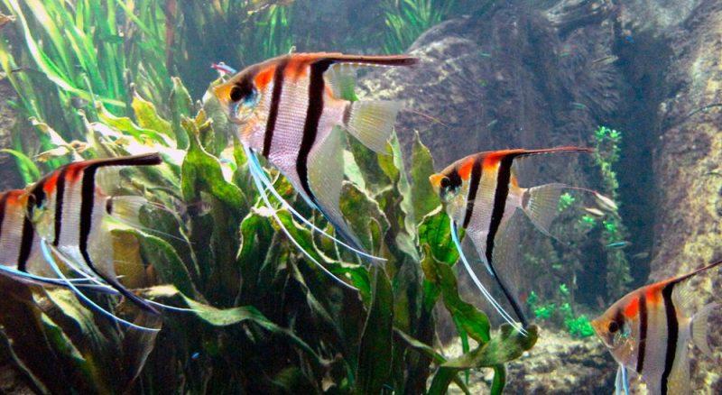 Was fressen Engelsfische?