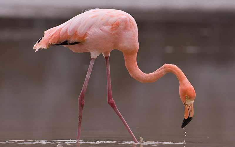 Was fressen Flamingos