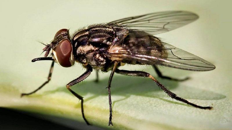 Was fressen Fliegen?