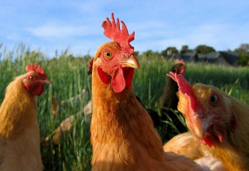 Was fressen die Hühner
