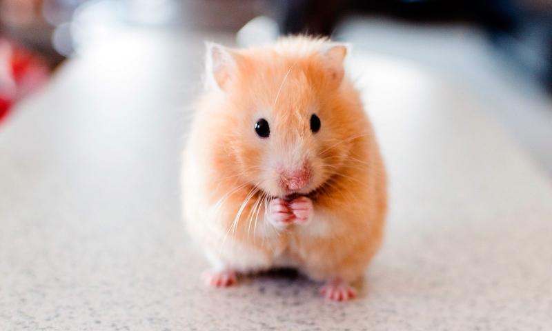 Was fressen die Hamster