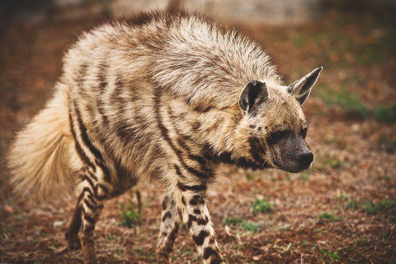 Was fressen die Hyänen