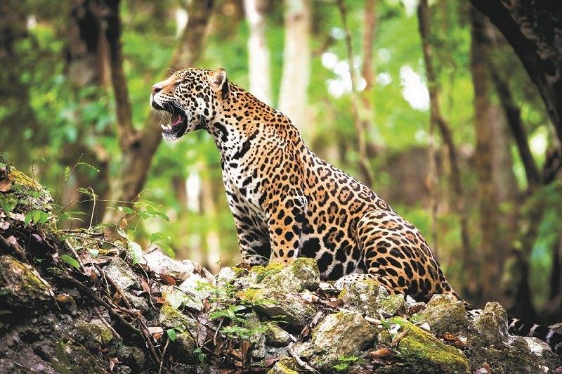 Was fressen Jaguar?