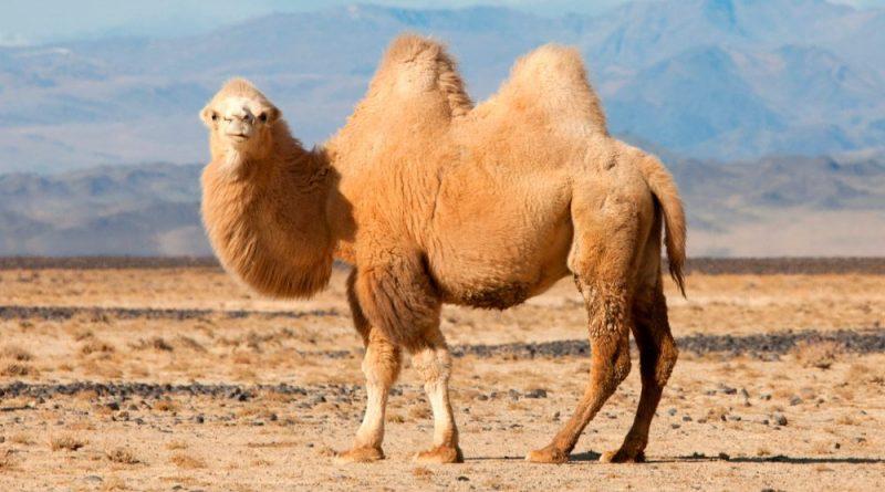 Was fressen Kamele?