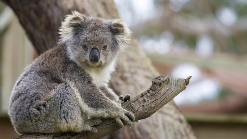 Was fressen Koalas?
