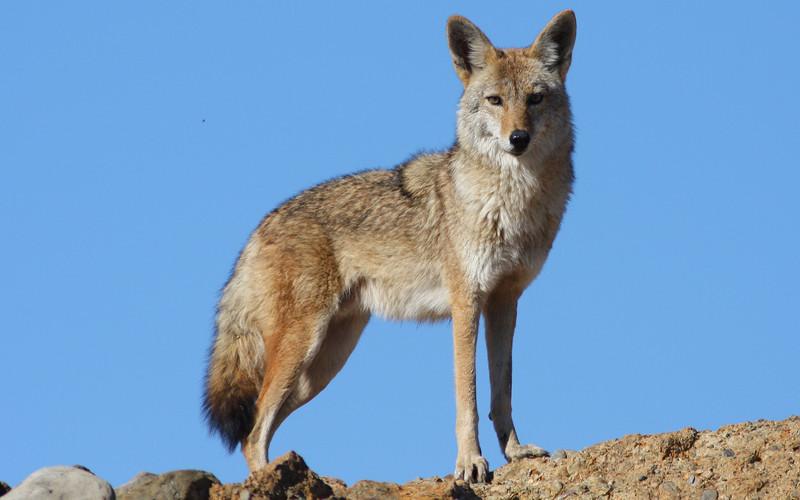 Was fressen Kojoten?