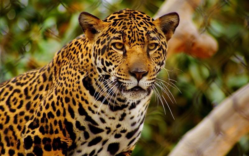 Was fressen Leoparden