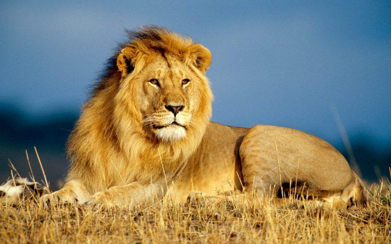 Was fressen Löwen?