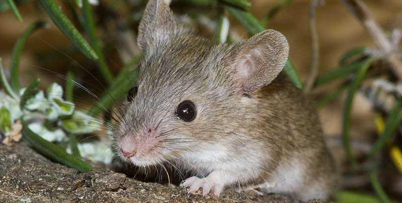 Was fressen Mäusen?