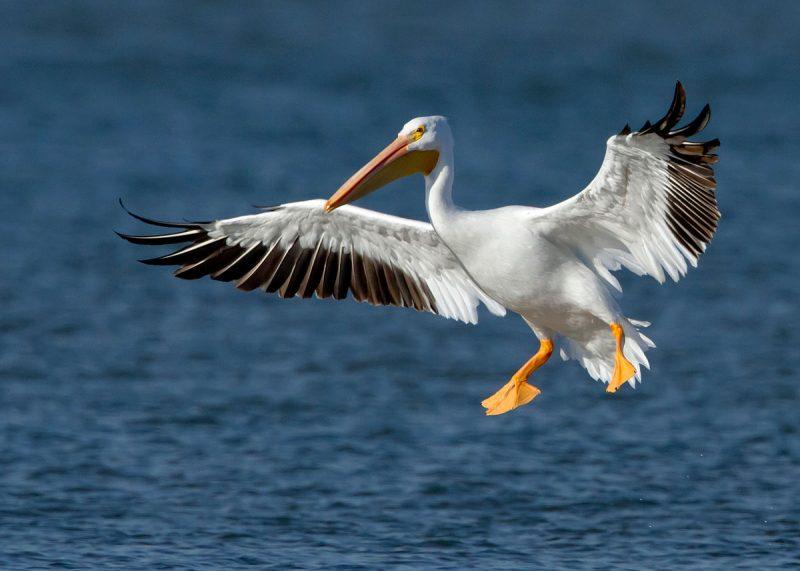 Was fressen Pelikane