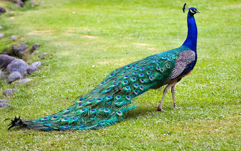 Was frisst der pfau was fressen - Fotos de un pavo real ...