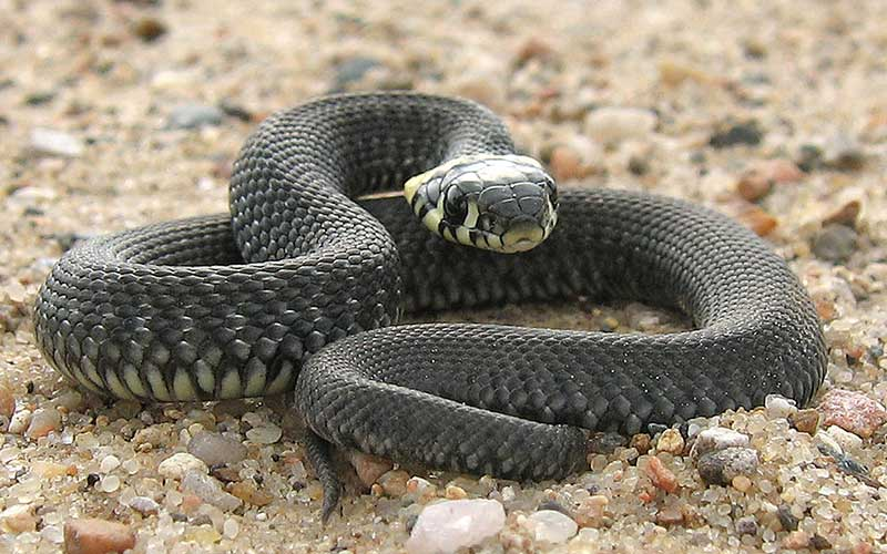 Was fressen Shlangen?