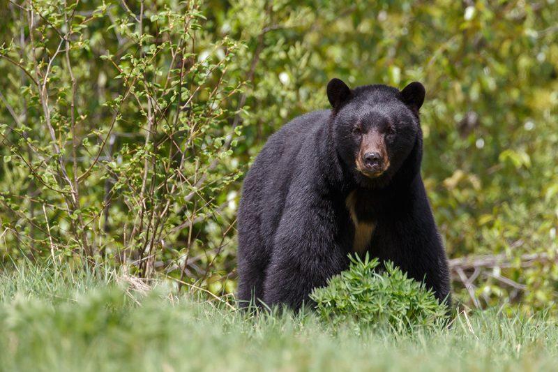 Was fressen Schwarzbären