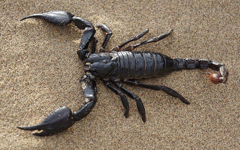Was fressen Skorpione