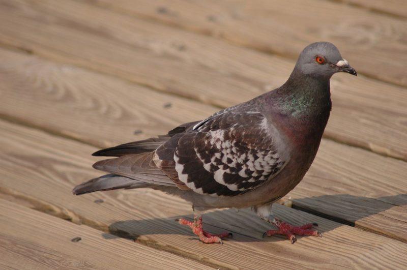 Was fressen die Tauben