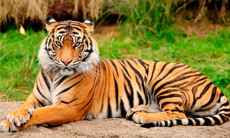 Was fressen Tiger?