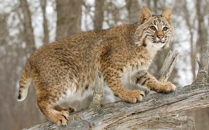 Was fressen Wildkatze?