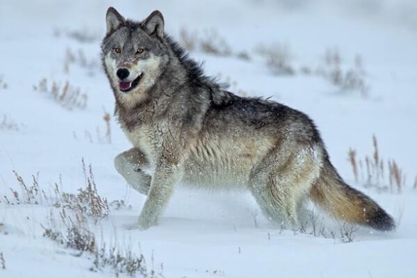 Was fressen Wölfe?