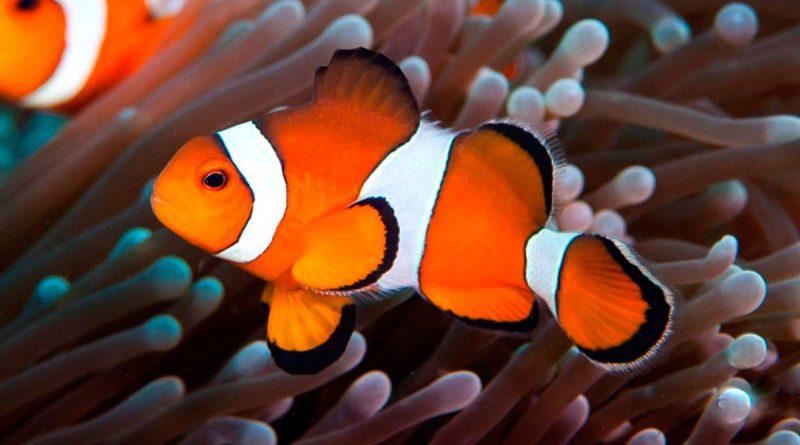 Was frisst der Clownfisch?