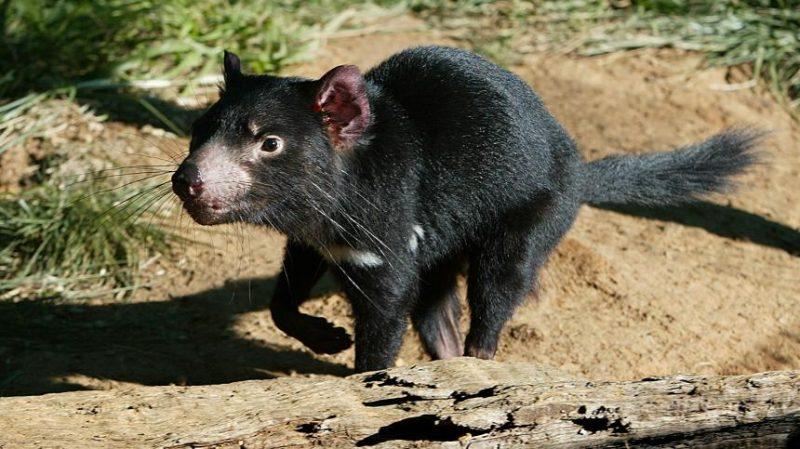 Was frisst der Tasmanischer Teufel?