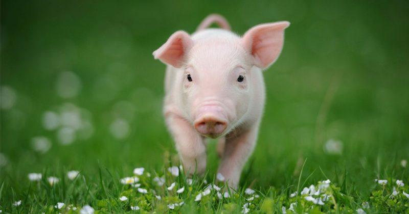 Was fressen Schweine?